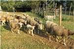 Livestock Sheep Skape- merino en ill de france  ramme