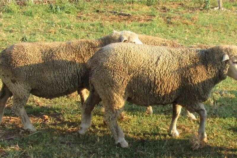 Sheep Skape  merino en ill de france  ramme Livestock