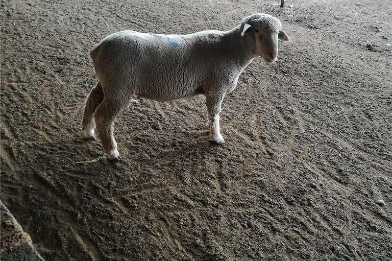 Sheep Vleismerino sheep Livestock
