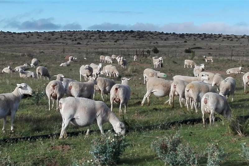 Livestock Sheep White Head Dorper for Sale