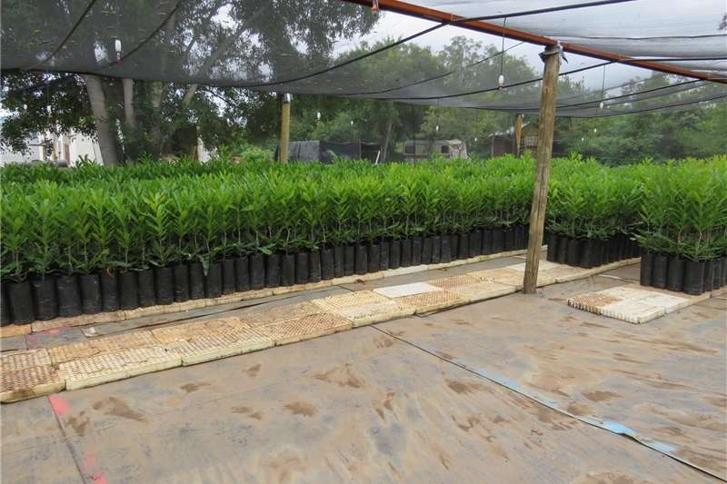 Grafted macadamia trees for sale Other