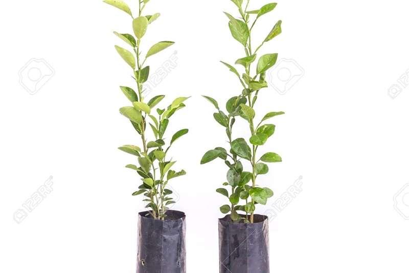 Other LEMON & NAARTJIE TREES FOR SALE (BULK)