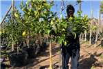 Other Themba Trees 100L Citrus lemon eureka   2 meters 0