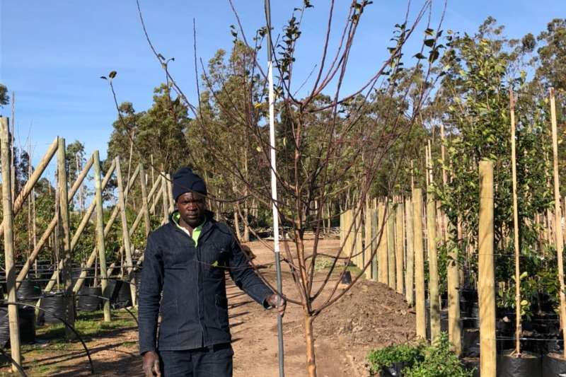 Themba Trees 100L Malus 'Crabapple'   3 meters Other