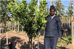 Other Themba Trees 100L Novelty naartjie   2 meters 0