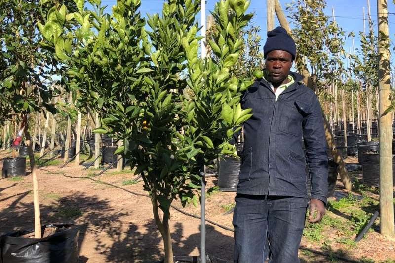 Themba Trees 100L Novelty naartjie   2 meters Other