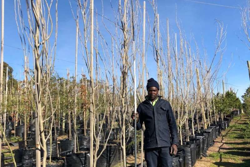 Themba Trees 100L Populus simonii   3.2 meters Other