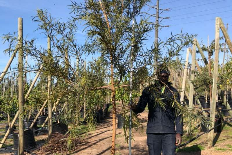 Themba Trees 100L Searsia lancea   3 meters Other