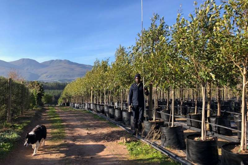 Themba Trees 100L Syzygium guineense   3 meters Other