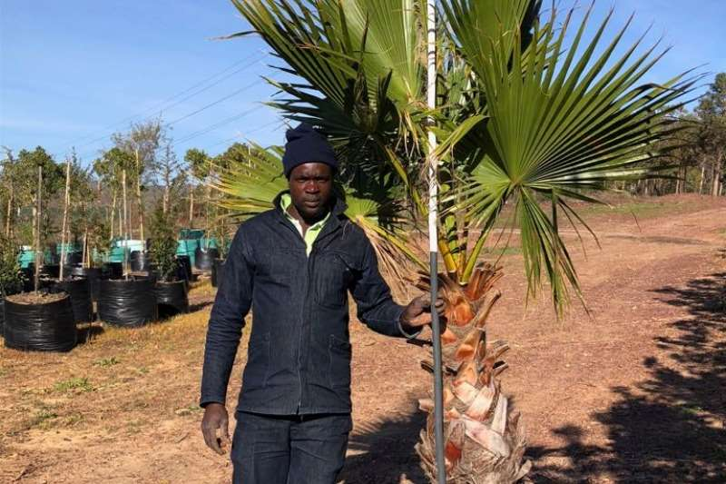 Themba Trees 100L Washingtonia robusta   2.2 meters Other