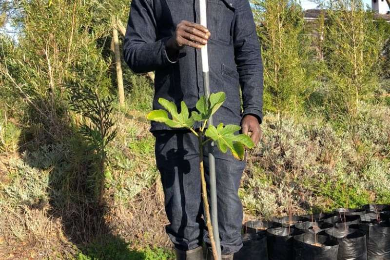 Themba Trees 10L Edible fig   0.8 meters Other