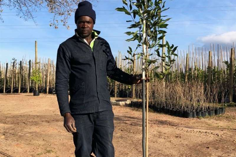 Themba Trees 10L Syzygium guineense   current height 2 meters Other