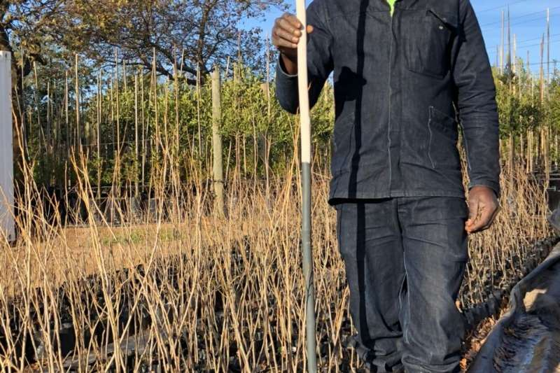 Themba Trees 4kg Populus lombardii   0.8 meters Other