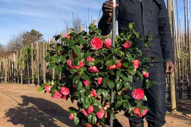 Themba Trees 50L Camellia   0.8 meters Other