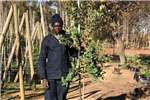 Other Themba Trees 50L Syzygium cordatum   2.2 meters 0