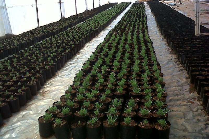 Other planting and seeding Greenhouse for Sale by Sunrise Agrifarm with 200 m Planting and seeding