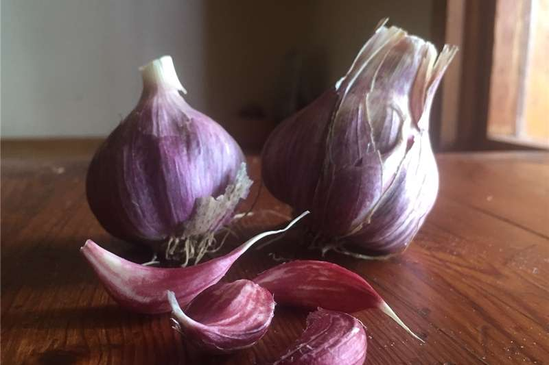 Seeds Garlic Egyptian Pink Seeds fertilisers and chemicals