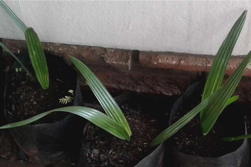 Seeds Palm Tree Seedling Seeds fertilisers and chemicals