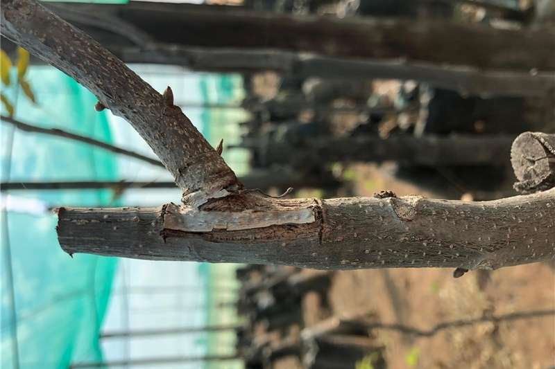 Seeds Pecan Trees For Sale Seeds fertilisers and chemicals