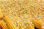 Seeds fertilisers and chemicals Seeds White And Yellow Maize Non Gmo