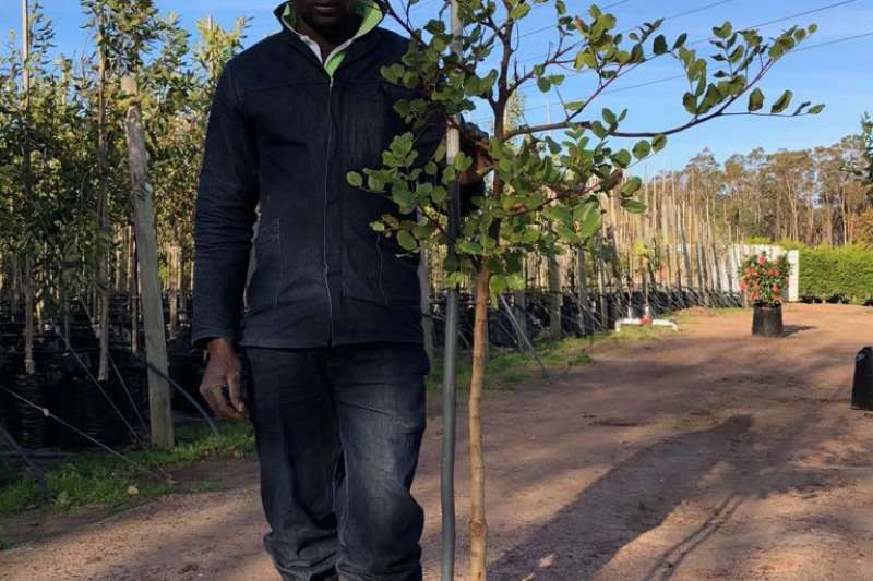 Themba Trees  Other 20L Ceratonia siliqua - 1.8 meters