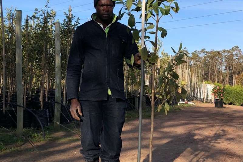 Themba Trees  Other 20L Dais cotinifolia - 2 meters
