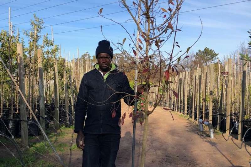 Themba Trees  Other 50L Combretum erythrophyllum - 2.4 meters