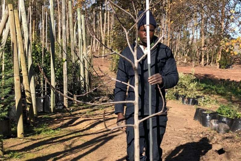 Themba Trees  Other 50L Edible fig - 1.8-2.8 meters