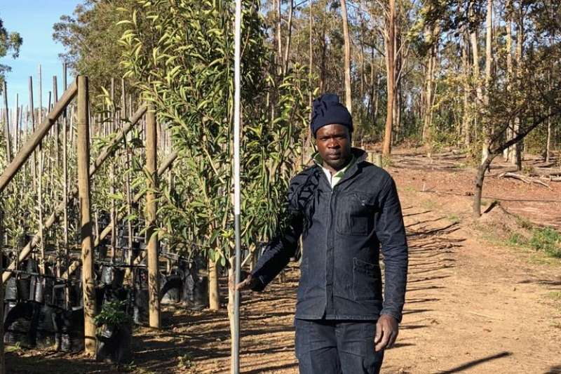 Themba Trees  Other 50L Ilex mitis - 2.2 meters