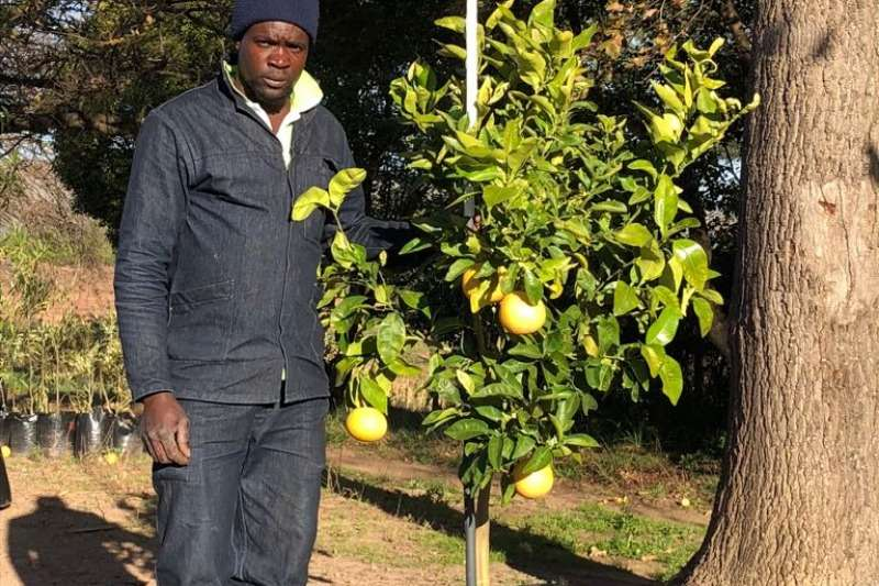 Themba Trees  Other 50L Pomelo (grapefruit) - 1.5 meters